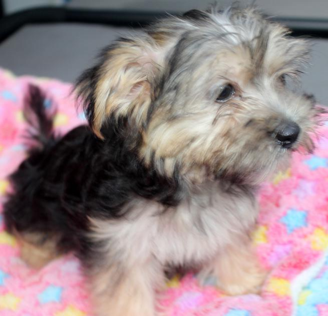Yorkies, Morkies, and Maltipoo Puppies For Sale in Florida